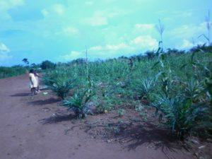 plantations Bimbo
